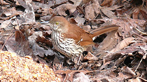 A Brown Thrasher (Toxostoma rufum) having lunc...