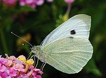 Pierinae Wikipedia