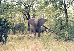 A young elephant, probably female, leaves the ...
