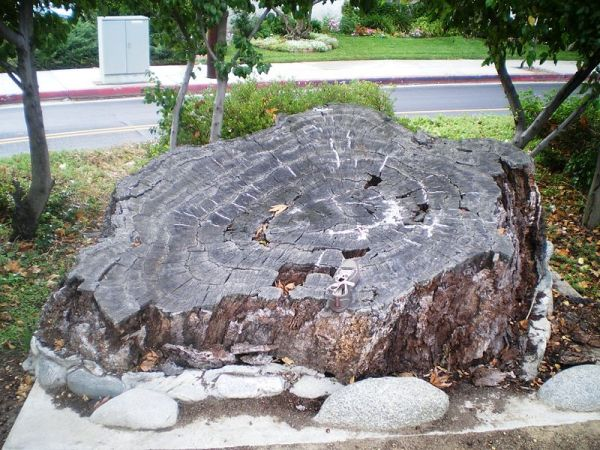 Encino Oak Tree.jpg