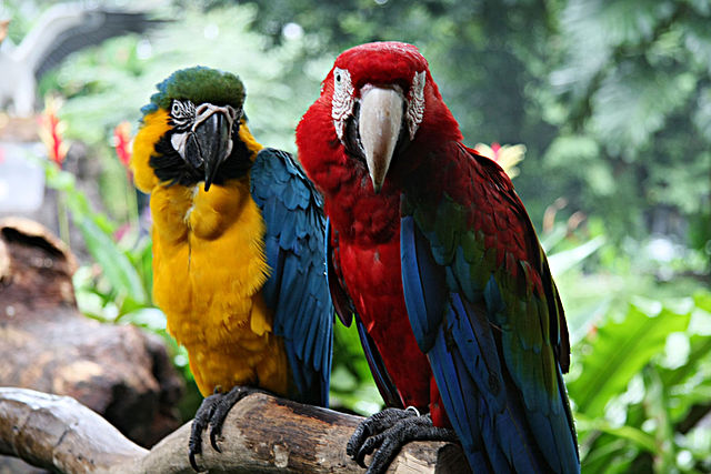 Blue-and-gold Macaw (Ara ararauna) on left and Green-winged Macaw (Ara chloropterus) on right. At Jurong Bird Park, Singapore. By Desmond Peh