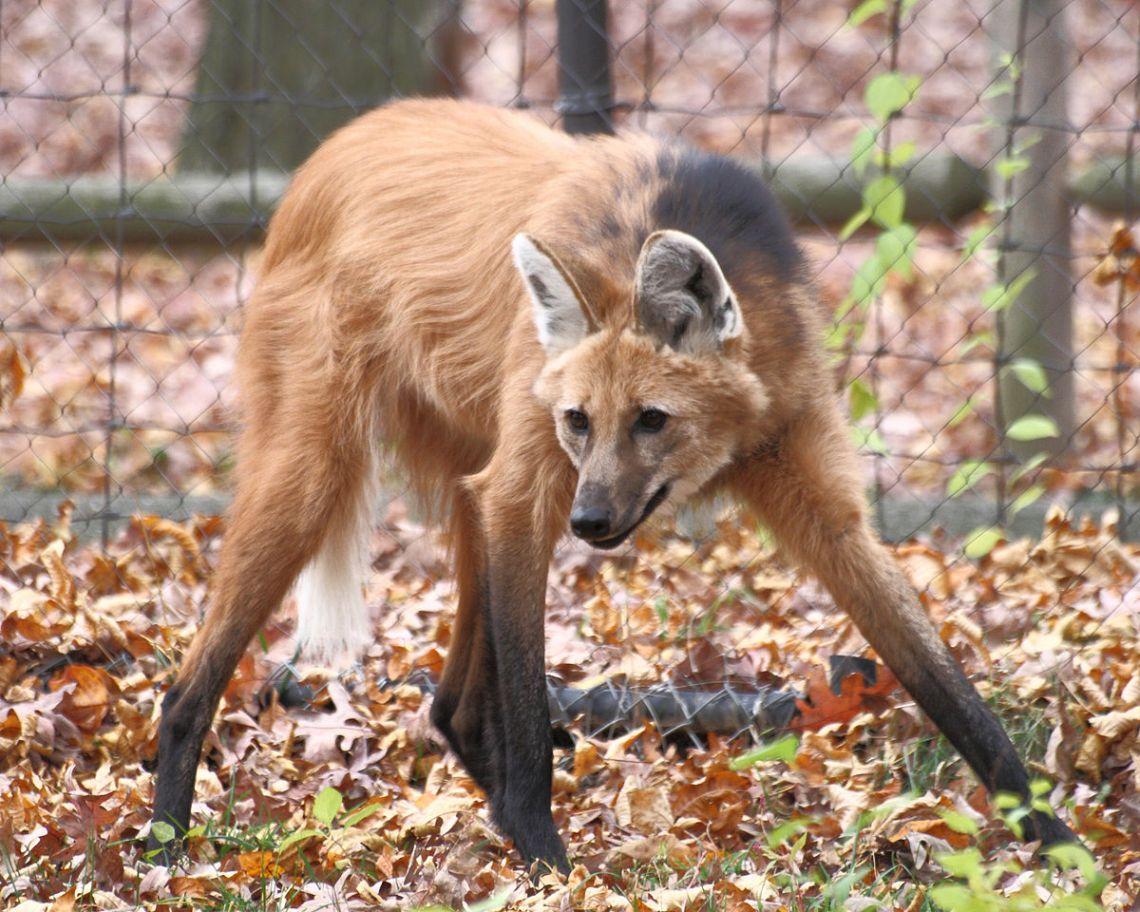 1200px Maned Wolf 11%2C Beardsley Zoo%2C 2009 11 06 Unique Female Dog Names For Pitbulls