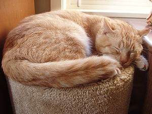 Orange Tabby sleeping