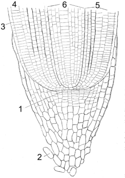 Root Tip Anatomy
