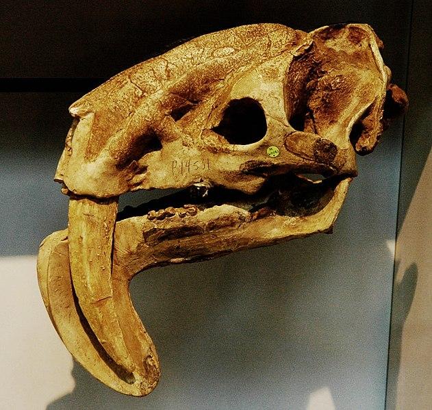 File:Thylacosmilus sp skull BMNH.jpg