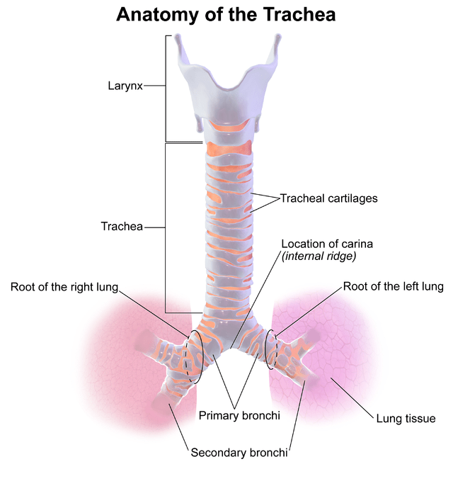 The Location Of Pituitary Gland And Endocrine System
