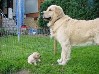 English: Golden Father and Son Deutsch: Golden...