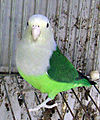Grey-headed Lovebird.jpg