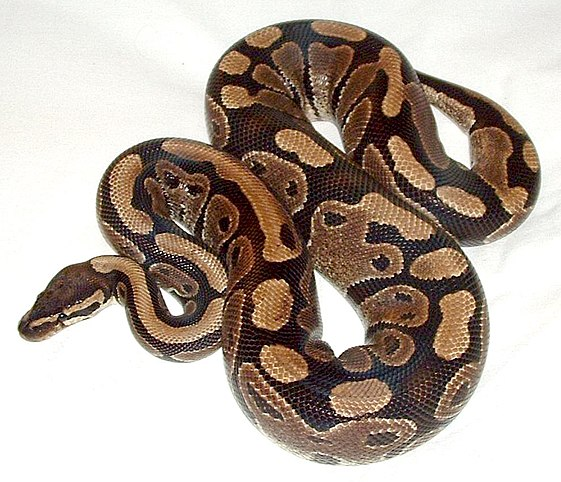 Pet ball python - normal phase, probably an import (rescue). By Mokele