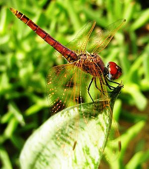 Dragonfly. Libya.