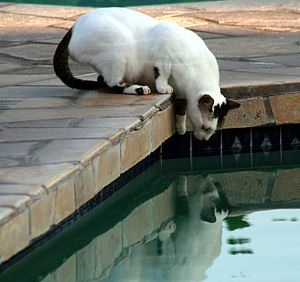 English: This feral cat is about to drink wate...