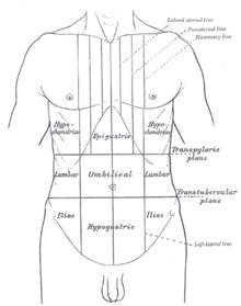 hypogastrium  Wiktionary