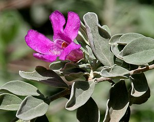 Leucophyllum frutescens - Purple Sage, Texas S...