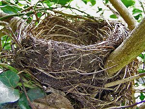 English: a bird nest Français : un nid d'oiseau
