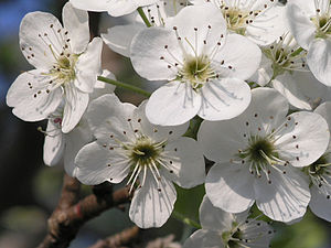 Bradford Pear, closeup of flower cluster, shot 1.