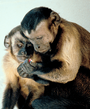 Cebus apella group. Capuchin Monkeys Sharing