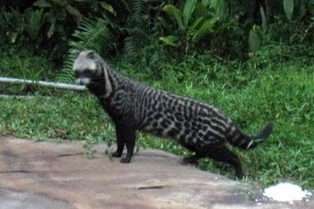 A civet in Gabon