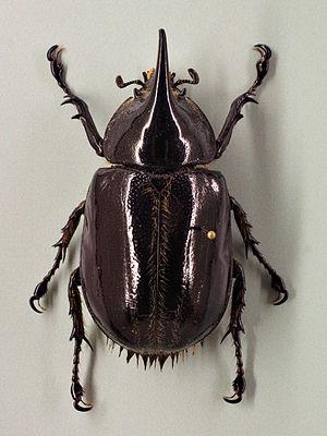 Dynastes neptunus (female), mounted; Audubon I...