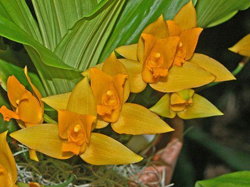 Orchidaceae - Lycaste aromatica