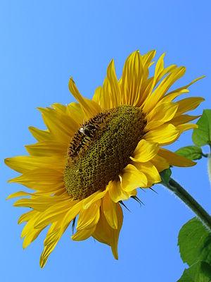 Sunflower (Helianthus L).