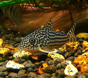 Corydoras sterbai, a highly sought after speci...