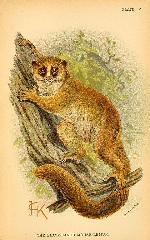 Primate estrepsirrino lémur de orejas negras