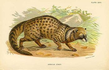 African civet Civettictis civetta Deutsch: Afr...