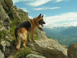 A German Shepherd dog on a mountain.
