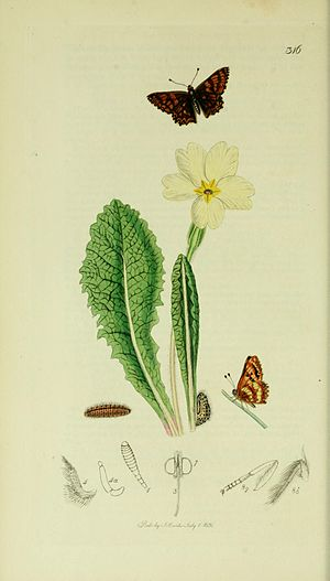 English: An illustration from British Entomolo...