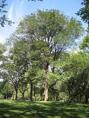English: Joyce Kilmer tree in Central Park