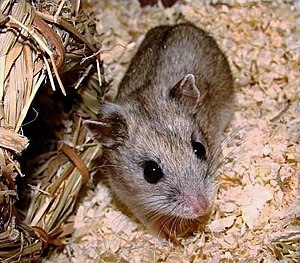 Chinese hamster example