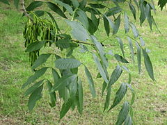 Foliage and immature fruit