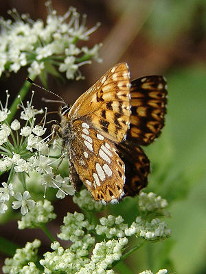 English: Duke of Burgundy (Hamearis lucina) De...