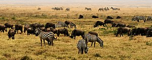 Plains Zebra (Equus quagga) and Blue Wildebees...