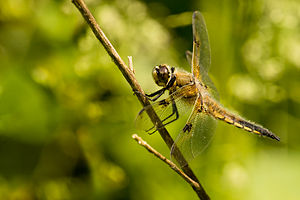 The Four-spotted Skimmer or Four-spotted Chase...