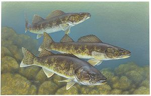 {{en|Walleye (Sander vitreus) from the USFWS. ...
