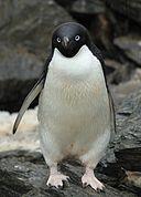 Adelie Penguin (5914568080)