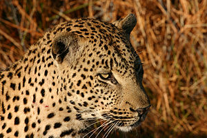 African Leopard (Panthera pardus) in Northern ...
