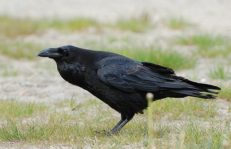 File:Corvus corax ad berlin 090516.jpg