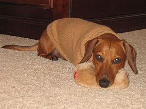English: Dachshund in standard winter coat