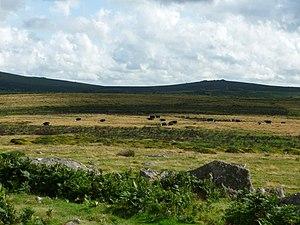English: Dartmoor National Park : Cows & Moorland