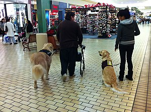 English: Golden Retreiver Service Dog