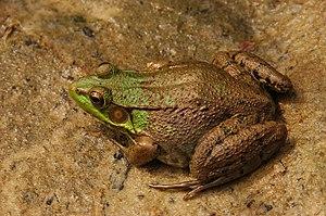 Photograph of a Green Frog en ( Rana clamitans...