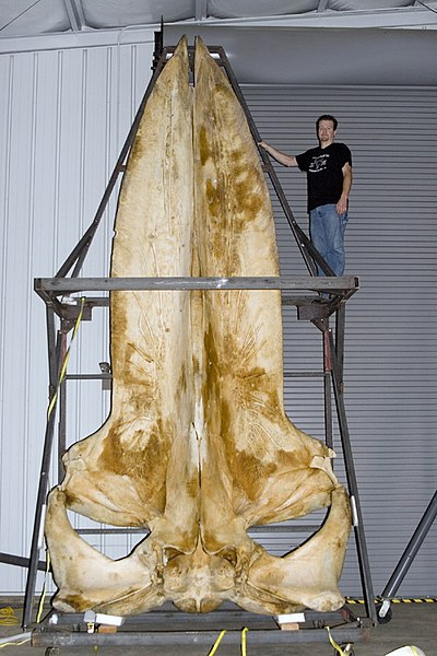 File:Joey williams with a 19 foot long blue whale skull.jpg