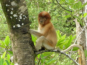 English: Juvenile Proboscis Monkey in Bako Nat...