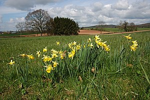 English: Wild daffodils at Donnington Wild daf...