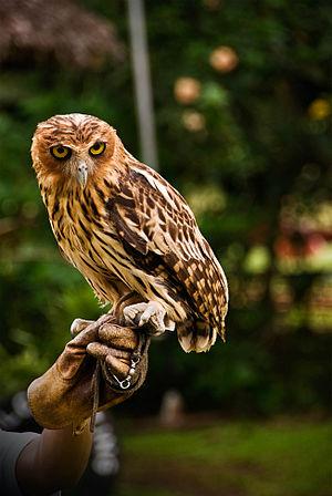 A Philippine Eagle-Owl at Malagos Garden Resor...