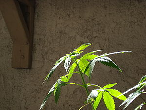 Cannabis plant(s) in vegetative growth stage.