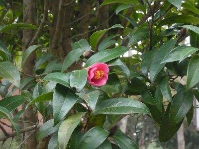 Camellia hongkongensis - Wikipedia