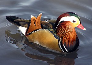 Mandarin Duck (Aix galericulata) at Slimbridge...